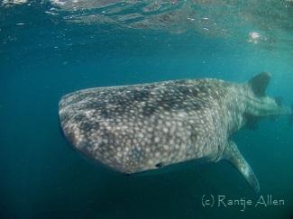 whale shark alert