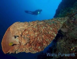 Dive Gorontalo wtih Salvador Dali sponge