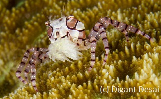 best diving in Indonesia with boxer crabs