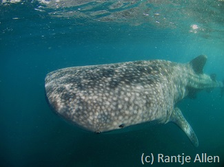 best diving in Indonesia with whale sharks