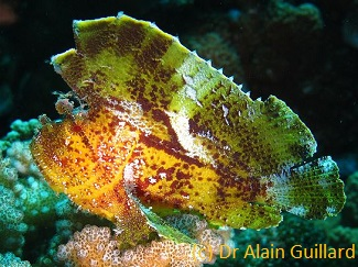 pinnacle diving with Leaf scorpionfish