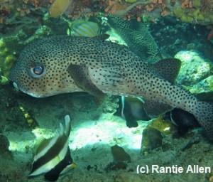 Spot-fin porcupine fish hides