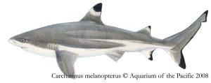 blacktip shark drawing