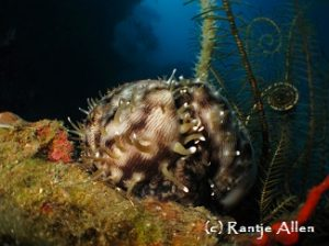 tiger cowrie mantle