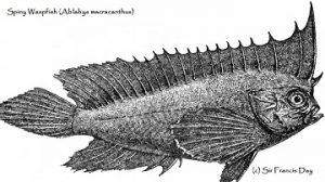Spiny waspfish Ablabys macrancanthus