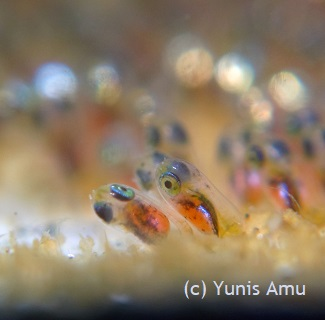clownfish eggs ready to hatch