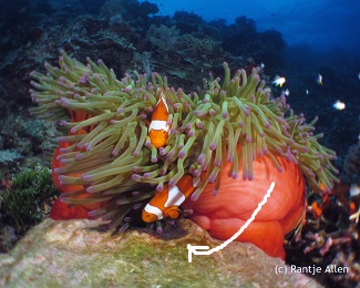 clownfish eggs guarded by parents