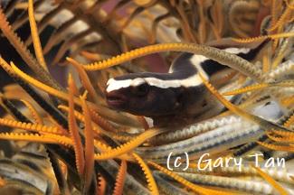 new clingfish species