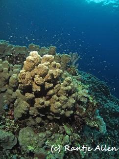 Galaxy coral colonies