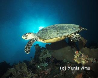 Hawksbill turtle sunburst