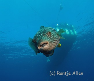 reticulated puffer smiles