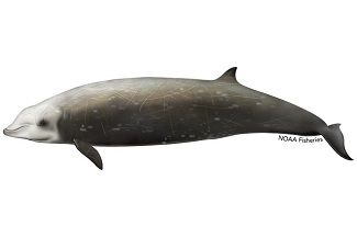 Cuvier's beaked whales