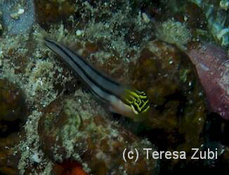 Bath's combtooth blenny Sulawesi