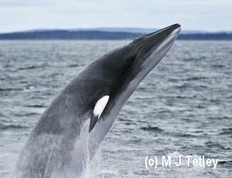 A breaching Minke Whale