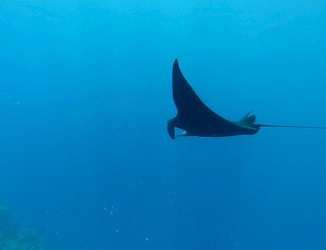 Black Manta Ray seen gliding