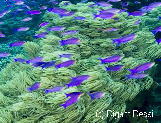 Purple Anthias Digant Desai