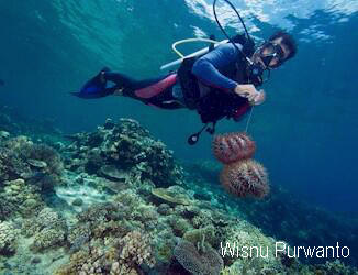 A dive guide removes two Crown-of-Thorns from a pristine coral reef in Gorontalo